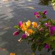 Bougainvillea — Stockfoto #4742458