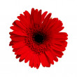 Crimson red  gerbera — Stock Photo