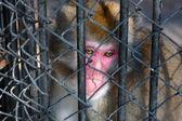 Hapishanede oturan üzgün maymun — Stok fotoğraf