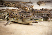 Close up view of a crocodile — Stock Photo