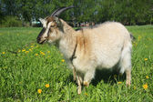 A frontal portrait of a goat on pasture — Stock Photo