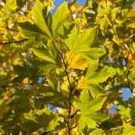 Autumn maple crown on blue sky background — Stock Photo #4552478