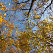 Crown of Autumn maple trees on blue sky background — Stock Photo #4552479