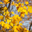 Golden maple tree branches on blue sky background — Stock Photo