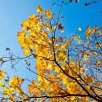 Golden maple tree branch on blue sky background — Stock Photo
