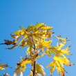 Single twig with maple leaves on blue sky background — Stock Photo