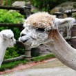 Royalty-Free Stock Photo: Alpacas