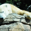 Foto Stock: Polar Bear