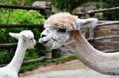 Alpacas — Stock Photo