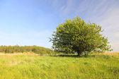 árbol solitario en un prado verde — Foto de Stock
