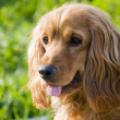 Stock Photo: English cocker spaniel
