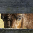 Mule looking through fence - Stock Photo