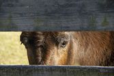 Mule looking through fence — Stock Photo