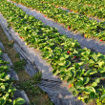 Strawberry field — Stock Photo #5339072