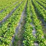 Red strawberry field — Stock Photo