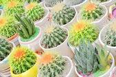Beautiful cactus — Stock Photo