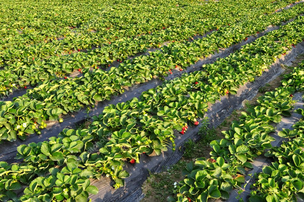 Red strawberry field — Stock Photo #5339073