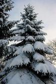 Den snöiga fir tree — Stockfoto