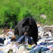 Stock Photo: Bear in garbage dump