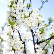 Royalty-Free Stock Photo: Cherry Tree