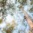 Eucalyptus trees — Stock Photo #4907177