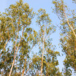 Eucalyptus trees - Stock Photo