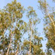 Eucalyptus trees — Stock Photo
