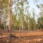 Eucalyptus forest at sunset — Stock Photo