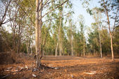 Eucalyptus forest at sunset — Stock Photo