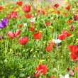 Poppy Field - Stock Photo