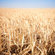 Mown field of wheat - Foto de Stock  
