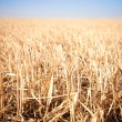 Mown field of wheat - Stock Photo