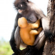 Dusky Leaf Monkey - Stock Photo