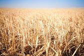 Champ fauché de blé — Photo
