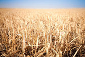 Mown field of wheat — Stock Photo