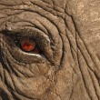 Stock Photo: Elephant eye