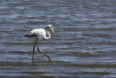 White Flamingo looking for food — Stock Photo