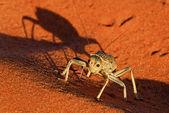 Dune cricket closeup — Photo