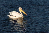 Colorful Pelican swimming in blue water — Stock Photo