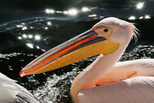 Pelican closeup — Stock Photo