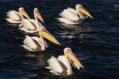 Pelikany pływanie w linii na błękitne wody — Zdjęcie stockowe