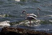 Flamingos im wasser stehend — Stockfoto