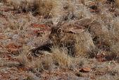 Las liebres en el desierto de namib — Foto de Stock