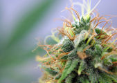 Close up of medical marijuana — Zdjęcie stockowe