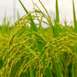 Rice field — Stock Photo #4583150
