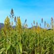 Stock Photo: Millet field
