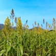 Millet field — Stock Photo