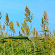 Millet field and blue sky — Stock Photo