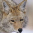 Coyote — Stock Photo #4878663
