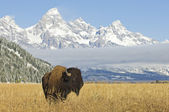 Grand Teton Bison — Stock Photo